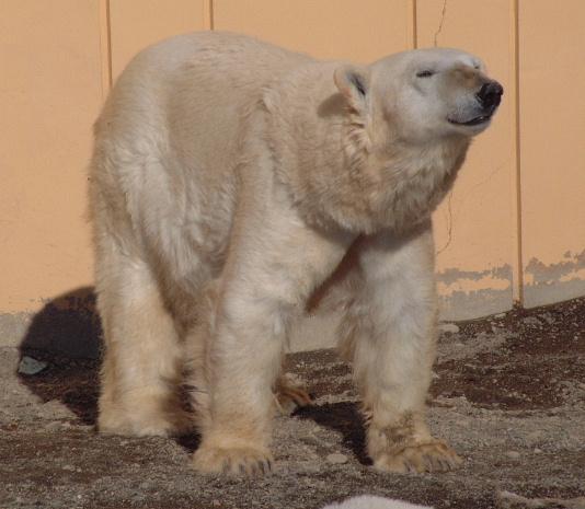 """这就是镇园之宝北极熊 呆呆的… 很可爱吧~~ 花钟 听说""""曾""""是世界第"""